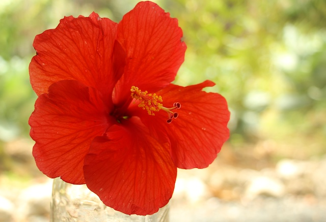 red hibiscus for tea