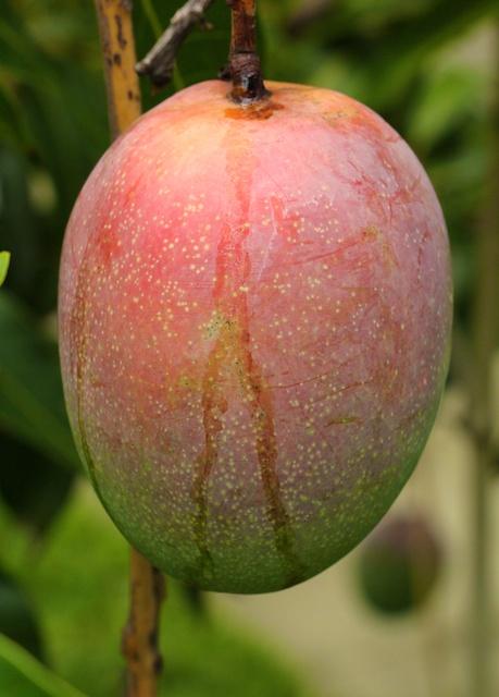 mango sap drip