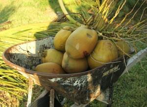 coconuts (1)