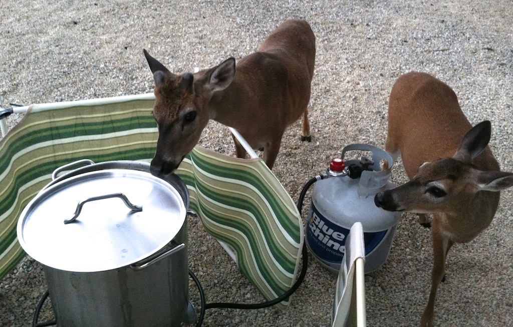 key deer sniffing the broth