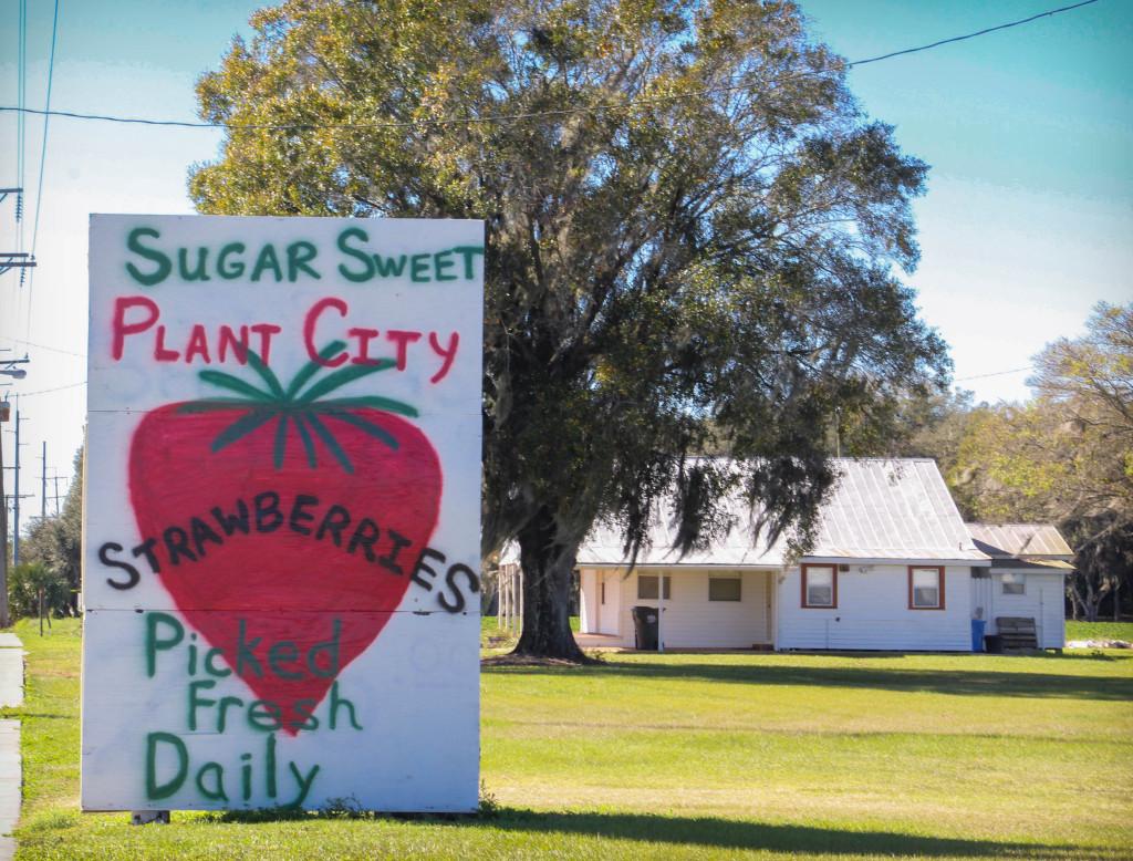 sugar sweet Plant City strawberries