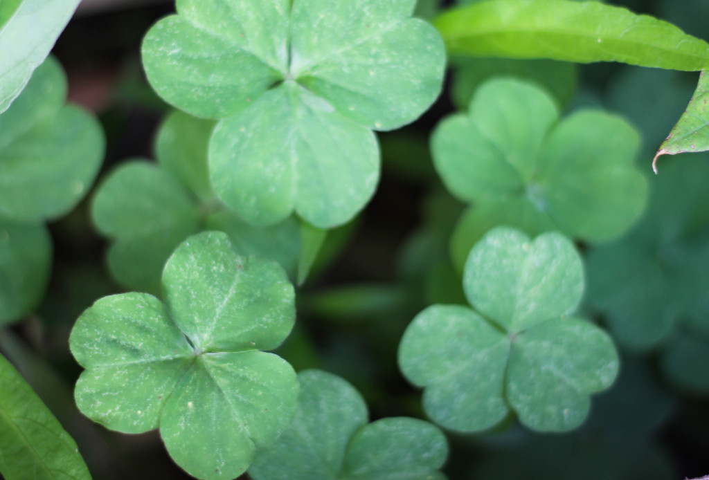 Today they're shamrocks, tomorrow they're weeds (wood sorrell, oxalis)