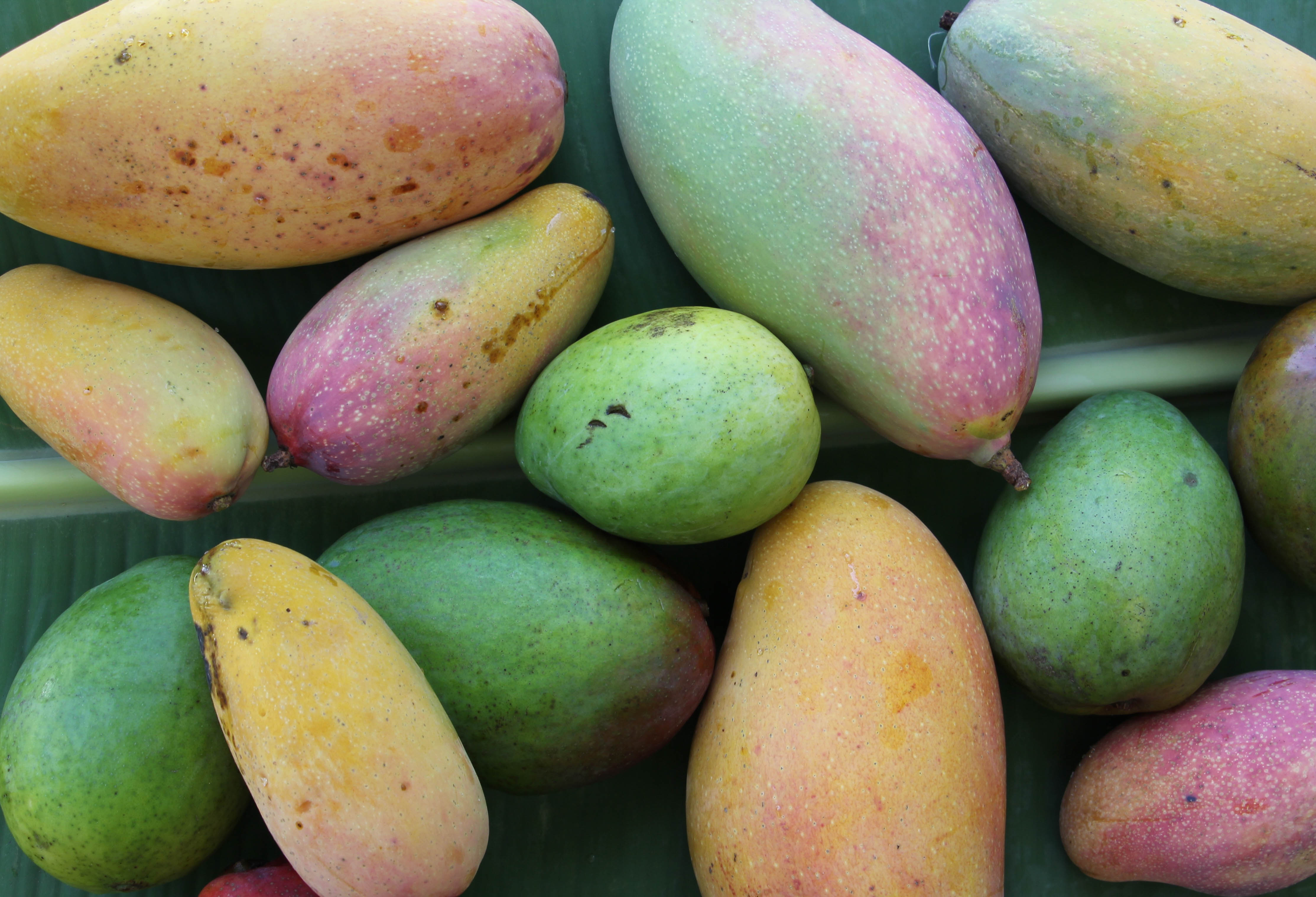 Mango Season: A Field Guide