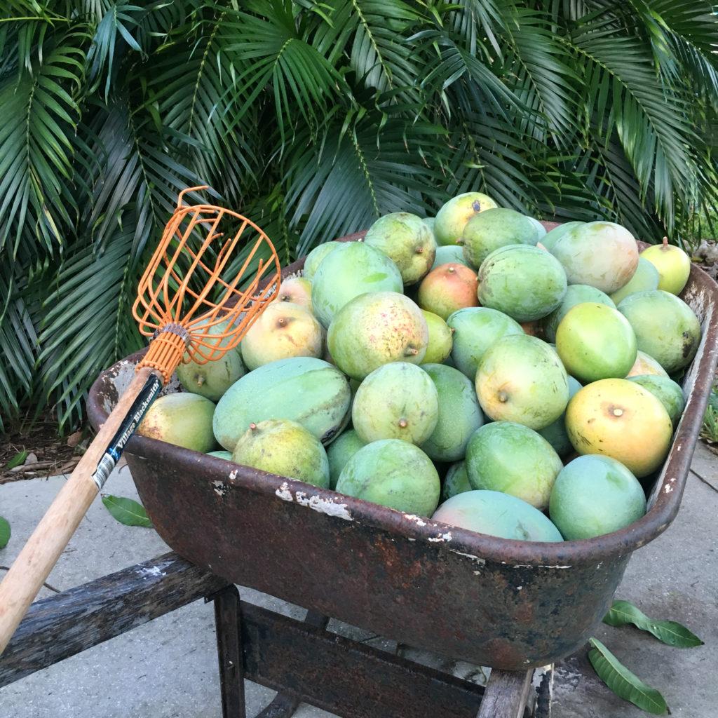 Keitt mango harvest