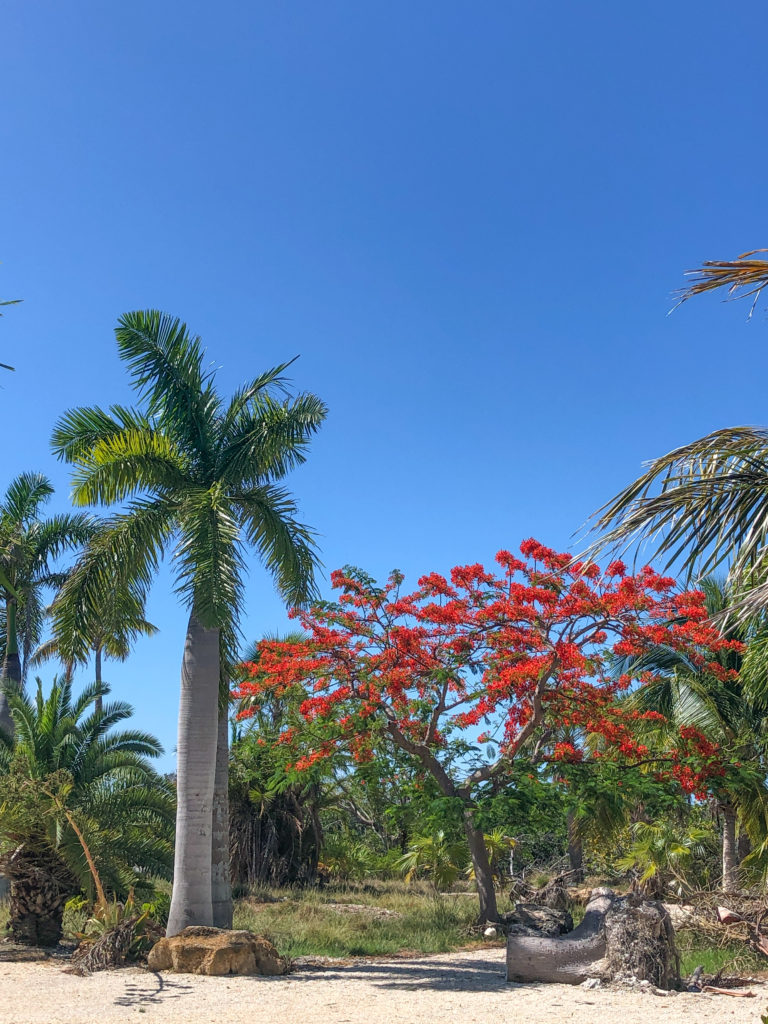 royal plus poinciana